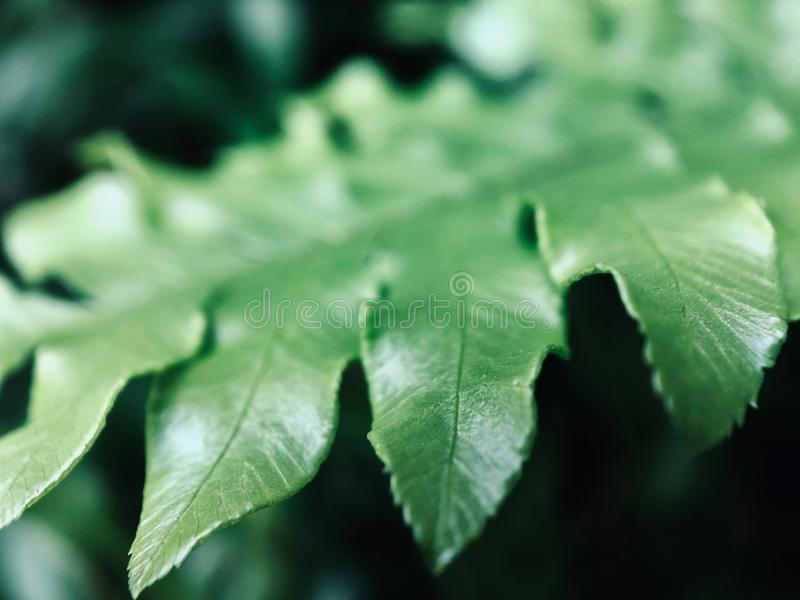 Part of the green leaf focuses on the foreground. Green leaves present a natural curve.The green leaves stay quietly in the corner giving a feeling of peace royalty free stock photo