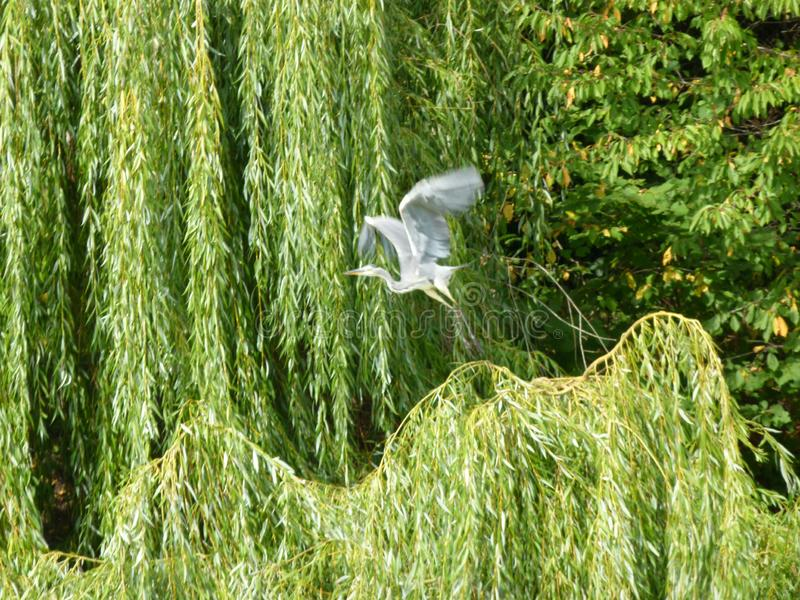 Great gray Heron flies past a weeping willow. Part of an impressive grazing pasture with herons passing by, fish heron in flight, gray heron in flight, flying stock photo