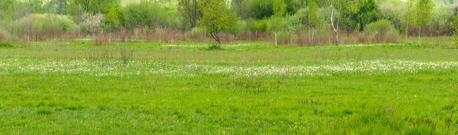Part of Natural habitat of wild narcissus Narcissus Valley, Ukraine. Panorama of the fragment of natural lowland habitat of wild narrow leaf narcissus during stock photos