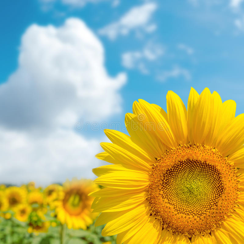 Free Part Of Sunflower Close Up And Blue Sky Royalty Free Stock Images - 50373089