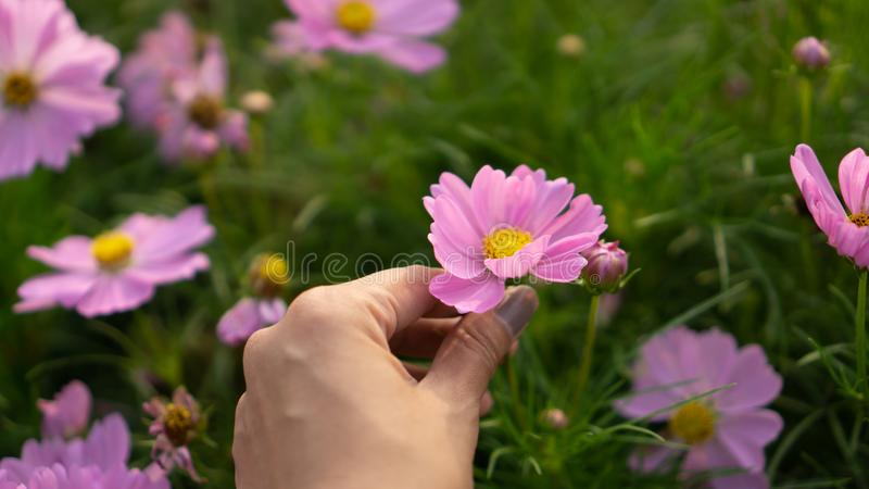 Tan skin hand of a woman grab a pretty pink petal of Cosmos flower on green leaves blurred background royalty free stock images