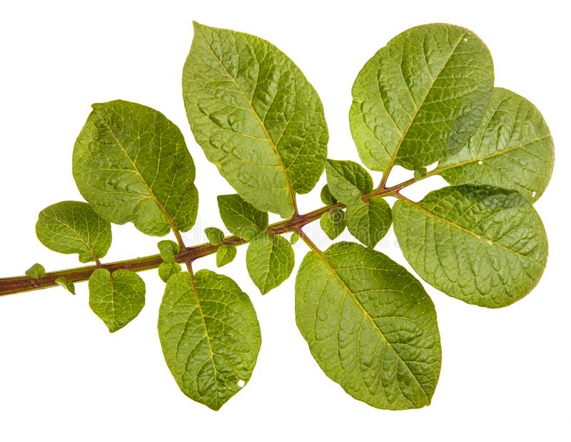Part of a potato bush with green leaves. Isolated on white stock images