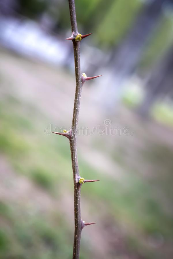 Part of the stem with thorns. royalty free stock photos