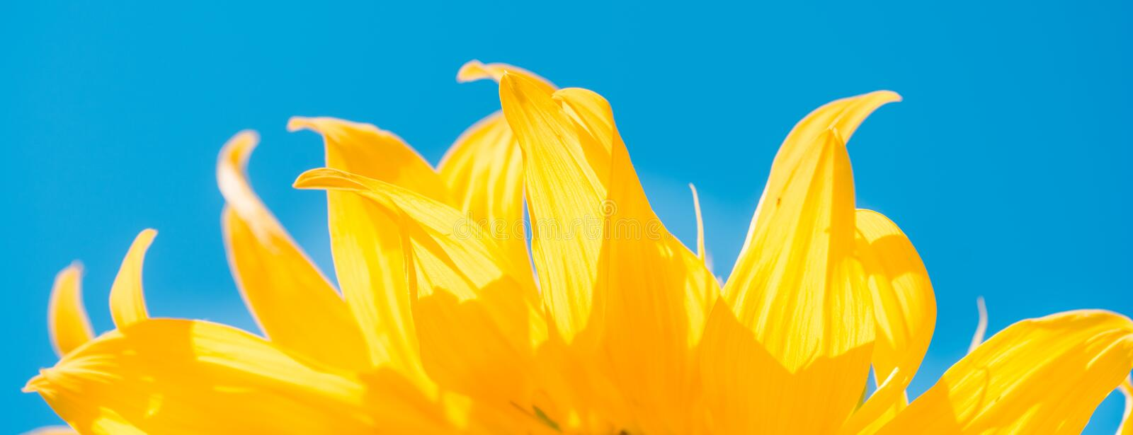 part of sunflower sun against the background of the blue sky. royalty free stock images