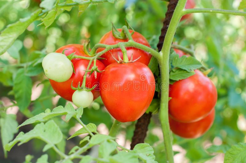 Part of tomato plant. With green and red fruits stock images