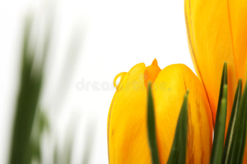 Part of yellow blossom of spring flowers crocuses with water drop on white background and on background with leaves royalty free stock photo