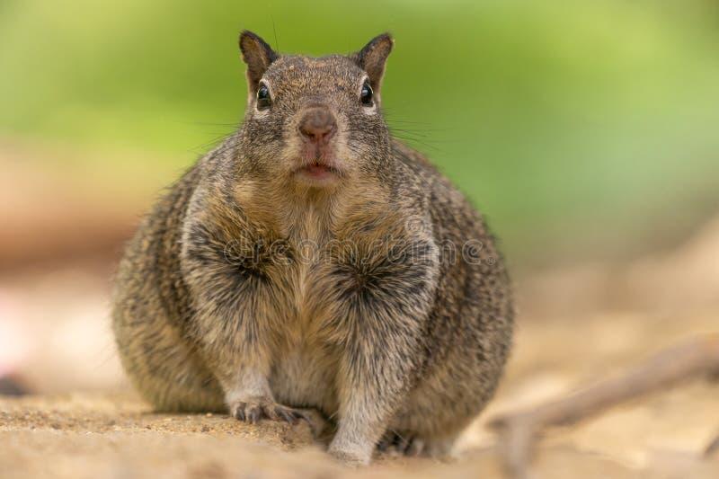 Parte anteriore che affronta potrait di uno scoiattolo grasso immagine stock libera da diritti