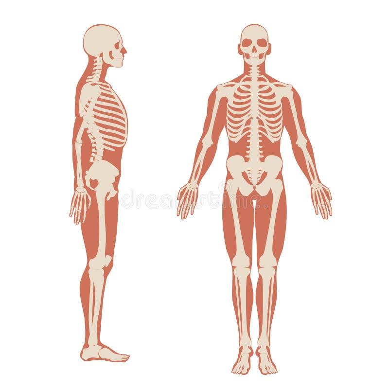 Parte anteriore di scheletro umana e vista laterale Illustrazione di anatomia degli uomini su fondo bianco con una siluetta del c royalty illustrazione gratis