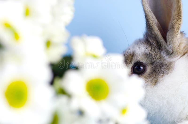 A parte da cara do coelho pequeno ao lado das margaridas foto de stock