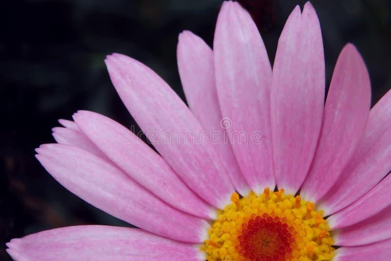 Parte de cierre rosado de la cabeza de flor de la margarita para arriba en fondo borroso fotos de archivo
