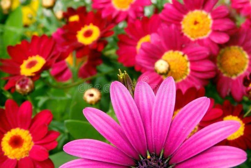 Parte de cierre rosado de la flor de la margarita para arriba en fondo floral borroso fotos de archivo libres de regalías