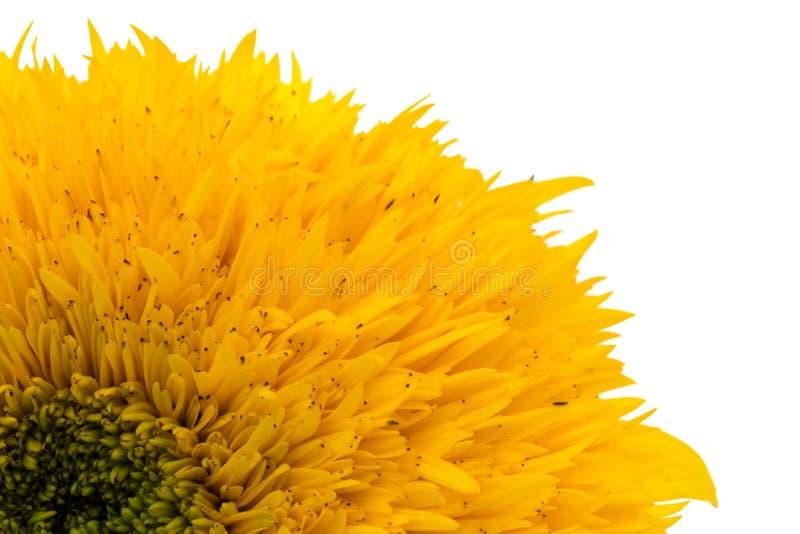 Parte de la flor del gerbera aislada en el fondo blanco fotografía de archivo libre de regalías