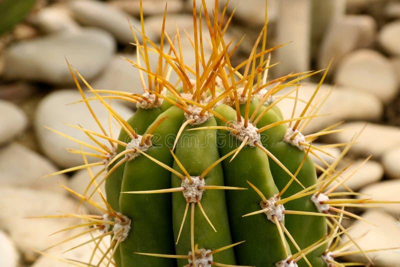 Parte de pontos verdes do cacto no potenci?metro com espinho longo, detalhe de grande planta do cacto que mostra agulhas e refor? fotos de stock