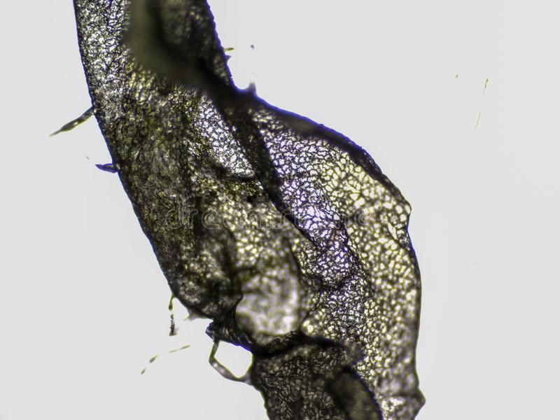 Parte de trevo sob o microscópio imagem de stock