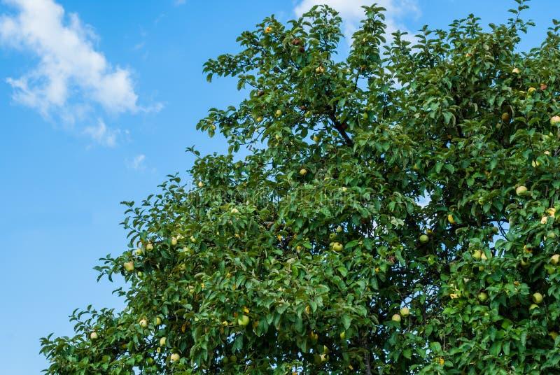 A parte de uma árvore de maçã com frutos maduros contra um céu azul em agosto é o momento para colher imagens de stock