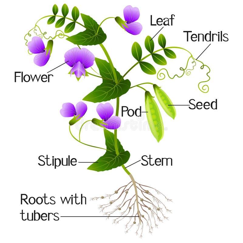 Parte de uma planta de ervilha em um fundo branco ilustração royalty free