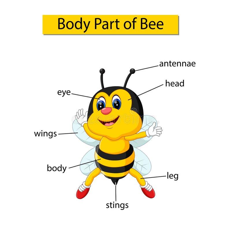 Parte del corpo di rappresentazione del diagramma di ape illustrazione di stock