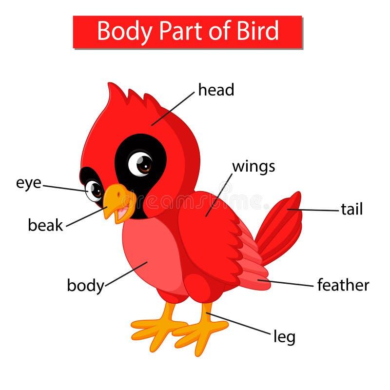 Parte del cuerpo de la demostración del diagrama del pájaro cardinal rojo stock de ilustración