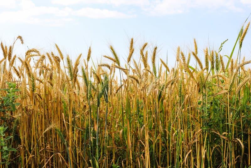 Parte del giacimento di grano dorato un giorno soleggiato immagine stock