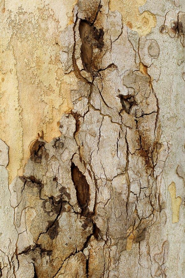 Parte del primo piano della corteccia di albero Platunus (sicomoro) fotografia stock libera da diritti