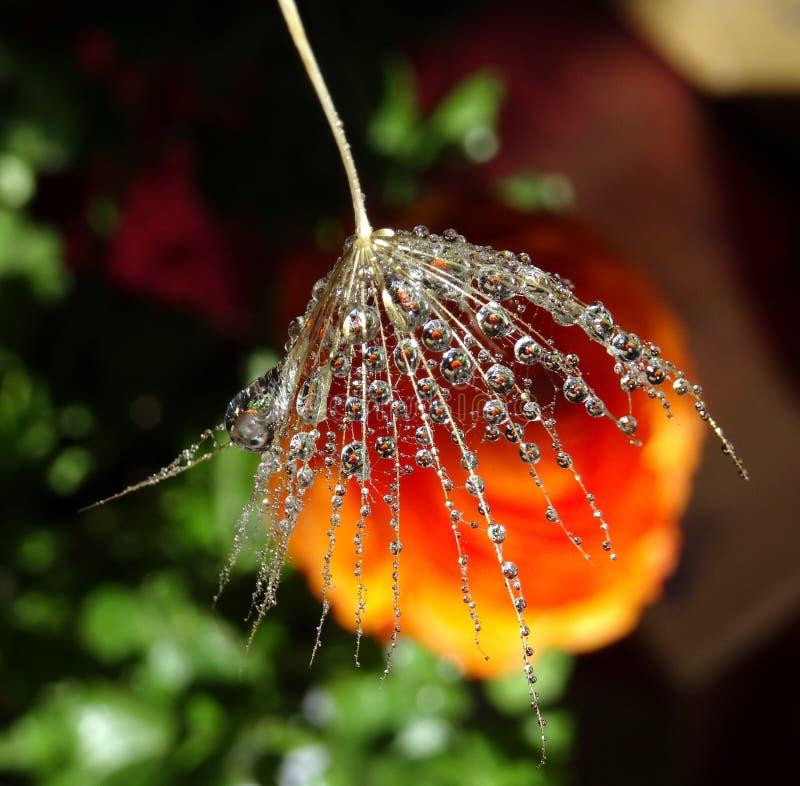 Parte del seme del dente di leone con le gocce di acqua su un fondo variopinto fotografia stock libera da diritti