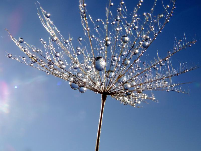 Parte del seme del dente di leone con le goccioline di acqua contro cielo blu fotografie stock