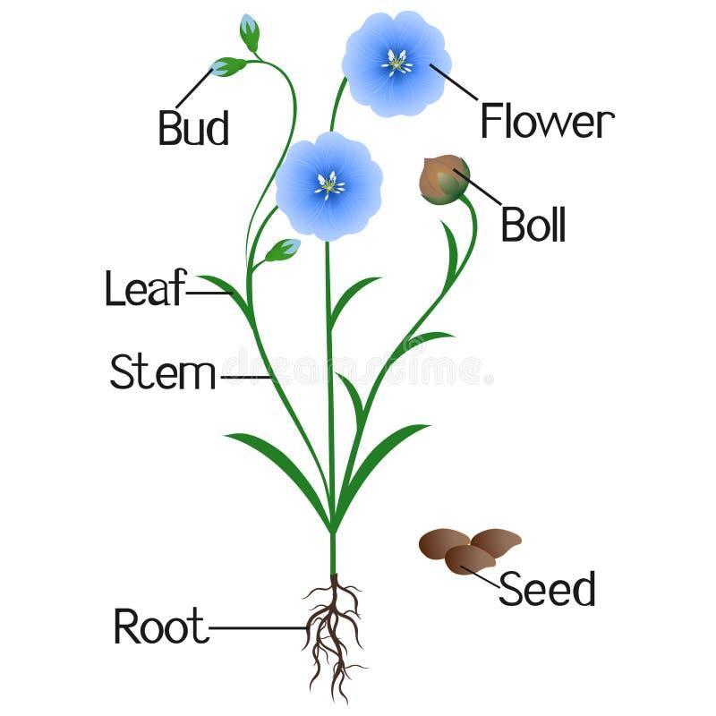 Parte della pianta blu del lino su un fondo bianco royalty illustrazione gratis