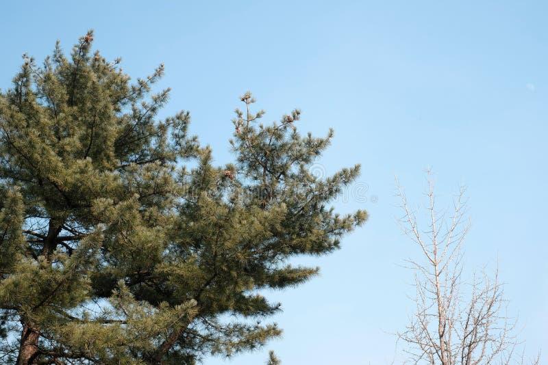 Parte di piante del ramo del pino e dell'albero asciutto a Seoul fotografie stock