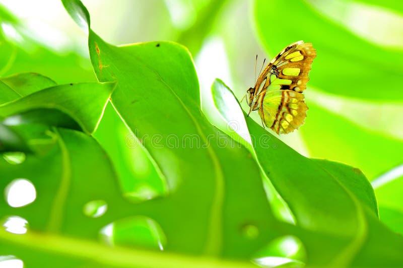 Parte di sotto della farfalla della malachite sulla foglia verde immagini stock libere da diritti