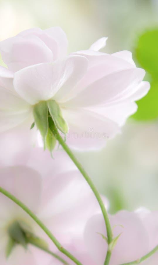 Parte di sotto delle rose di rosa pastello immagine stock