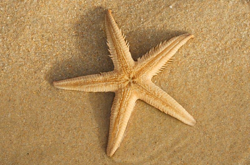 Parte di sotto delle stelle marine della sabbia del pettine - PS di Astropecten fotografia stock