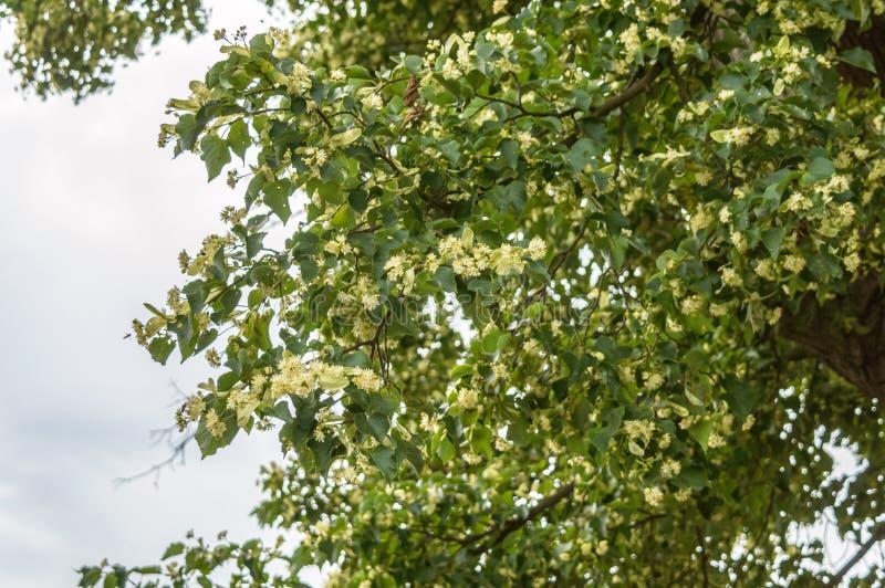 Parte di un albero con i fiori gialli sui suoi rami immagine stock