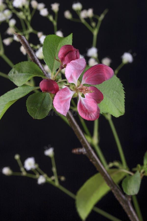 Parte di un fiore della mela di granchio fotografie stock libere da diritti