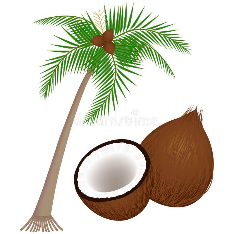 Parte di una pianta della noce di cocco su un fondo bianco royalty illustrazione gratis
