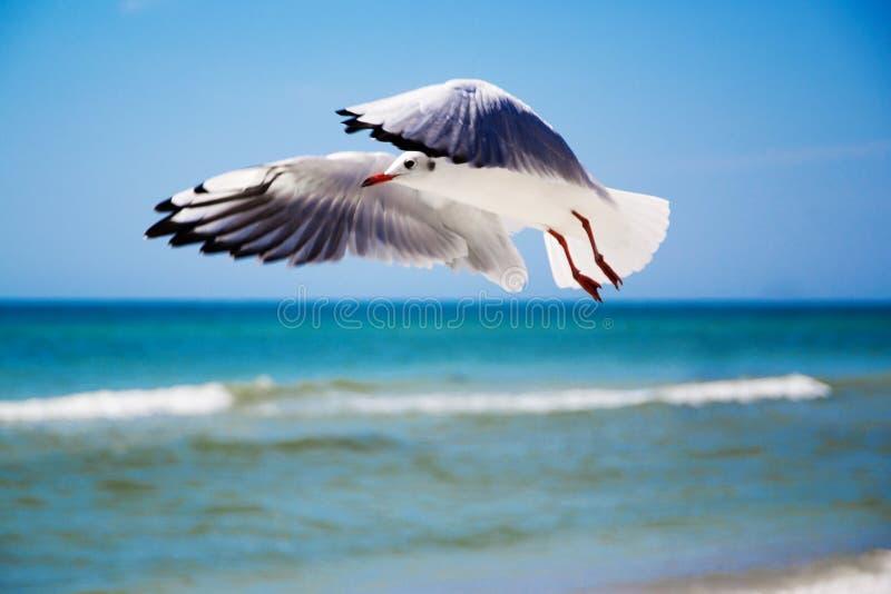 Parte dianteira da gaivota do céu fotografia de stock