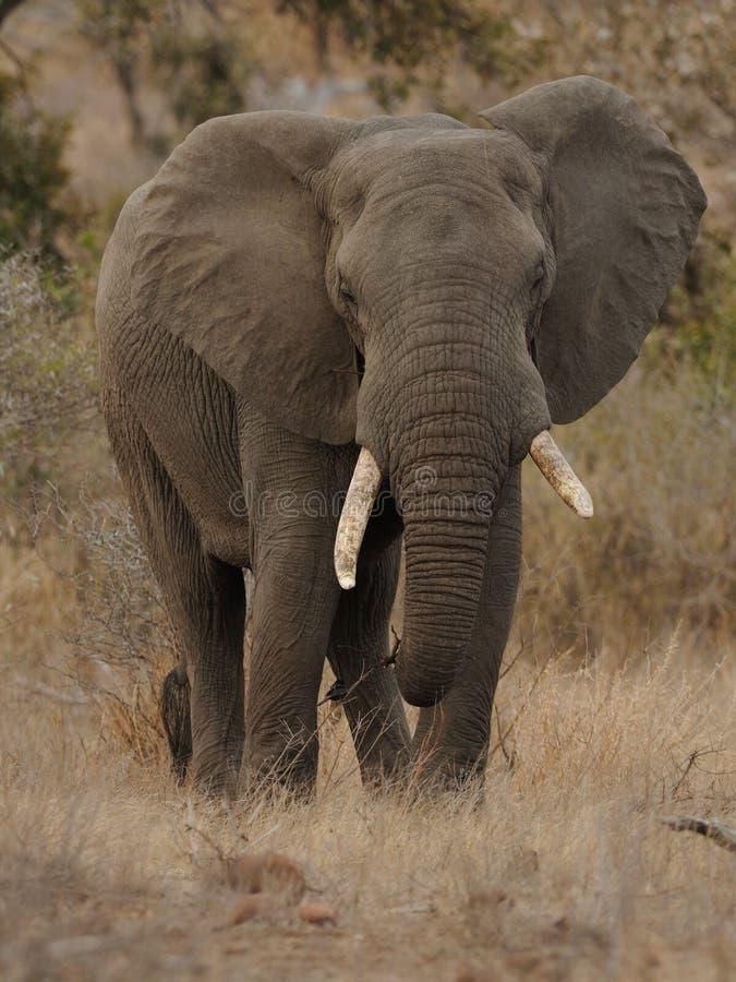 Parte dianteira de um elefante africano imagens de stock