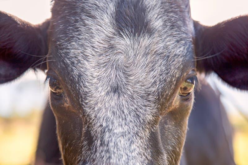Parte dianteira de uma cabe?a preta da vitela imagens de stock