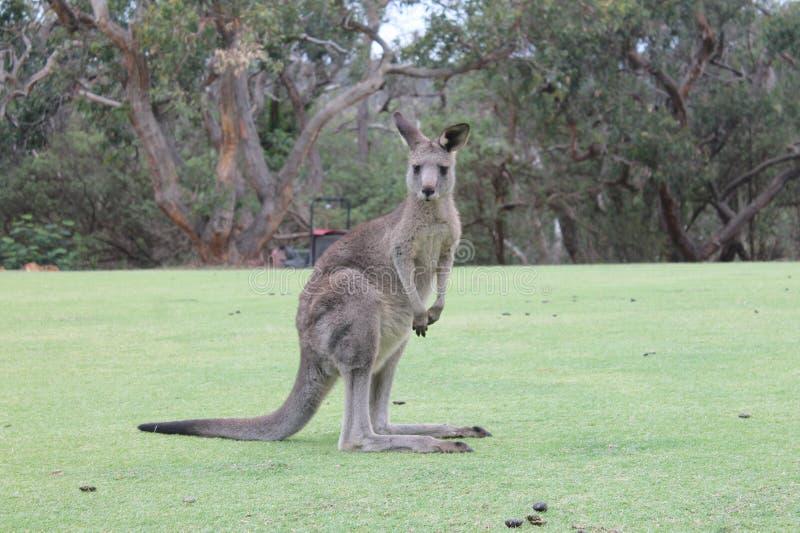 Parte dianteira do canguru de mim, Sydney Australia imagem de stock royalty free
