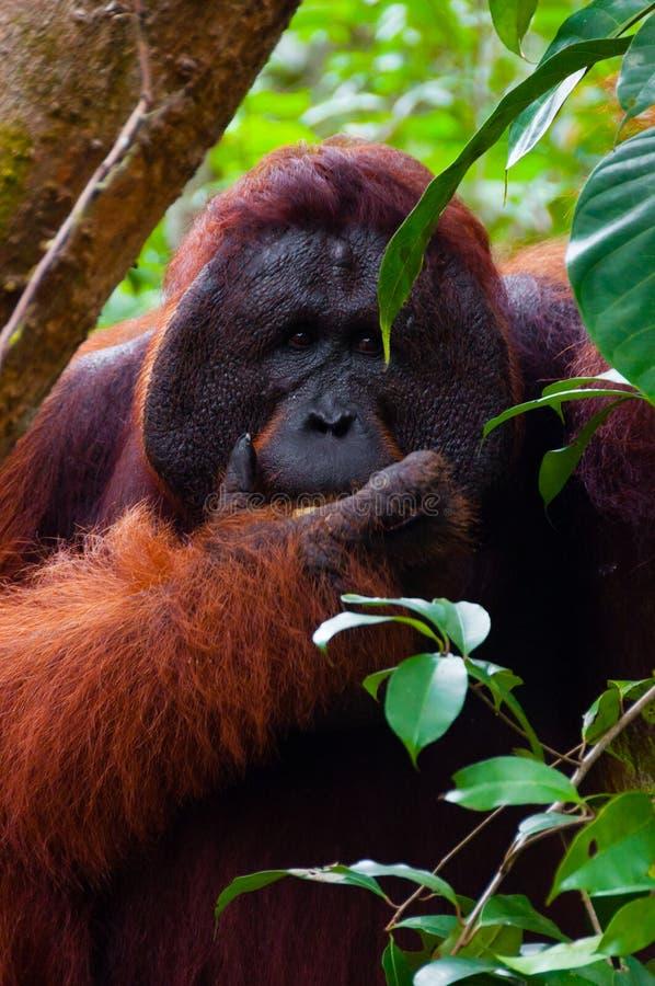 Parte dianteira utan do retrato comer do orangotango do homem alfa fotografia de stock