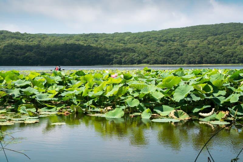 Parte do lago que coberto de vegetação por lotos floresce imagem de stock royalty free