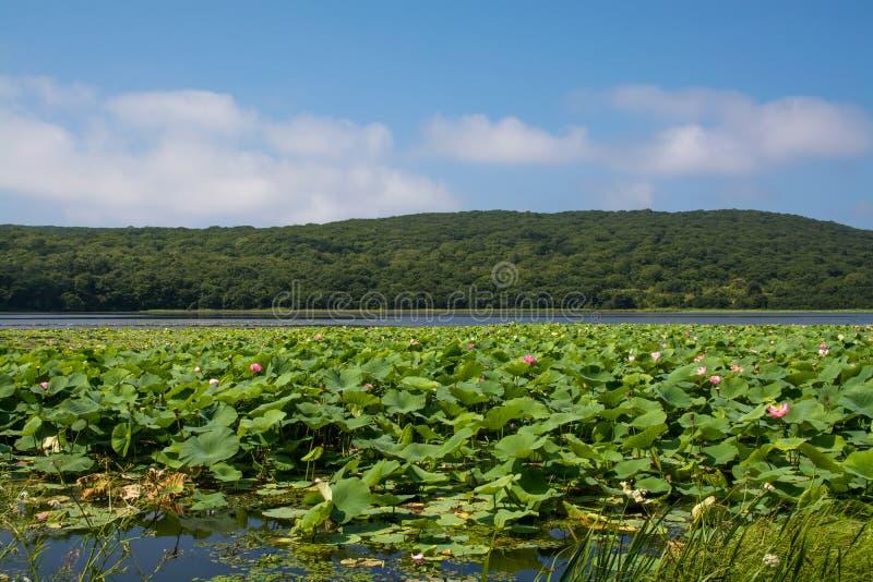 Parte do lago que coberto de vegetação por lotos floresce foto de stock royalty free