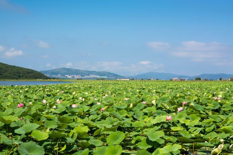Parte do lago que coberto de vegetação por lotos floresce fotos de stock