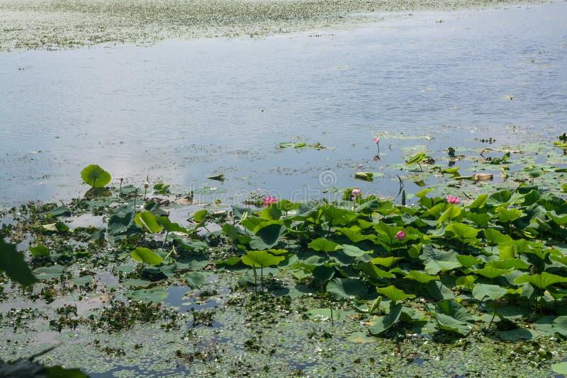 Parte do lago que coberto de vegetação por lotos floresce fotografia de stock royalty free