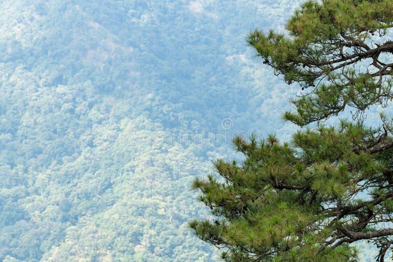 Parte do pinheiro em primeiro plano com floresta verde em uma montanha em segundo plano fotografia de stock royalty free