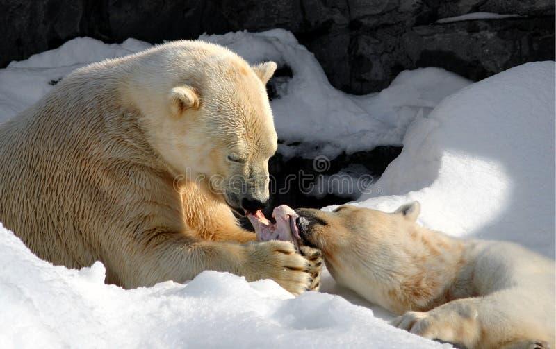 Parte do urso polar fotografia de stock