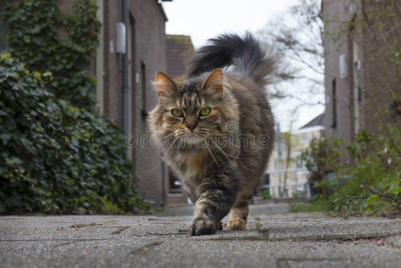 Parte externa de passeio doméstica de cabelos compridos do gato de gato malhado imagem de stock royalty free