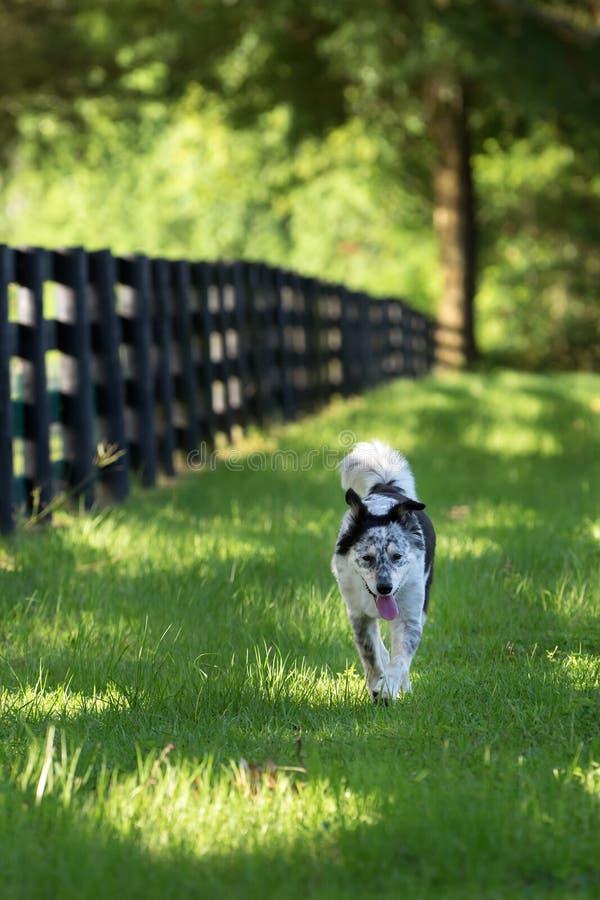 Parte externa running do cão da raça da mistura de border collie fotos de stock