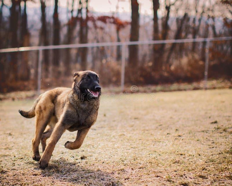Parte externa running do cachorrinho feliz de Malinois do belga no parque do cão foto de stock royalty free