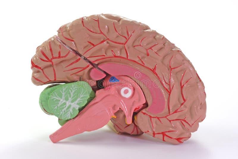 Parte humana del cerebro imagenes de archivo