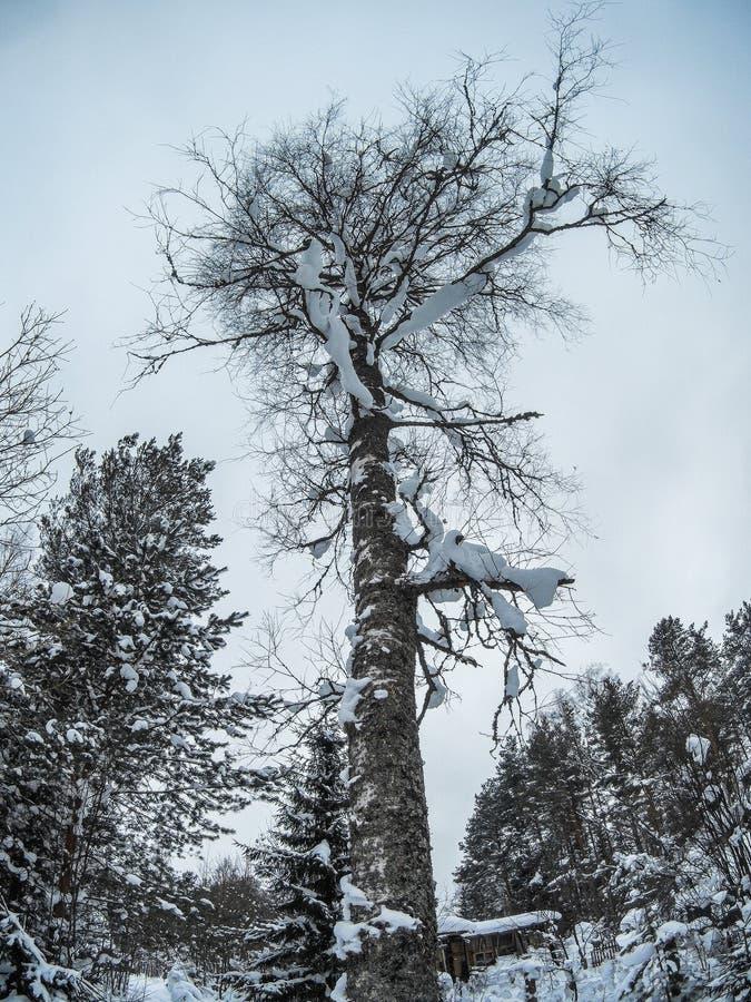 Parte inferior coberto de neve maciça da árvore de vidoeiro acima do tiro imagem de stock royalty free